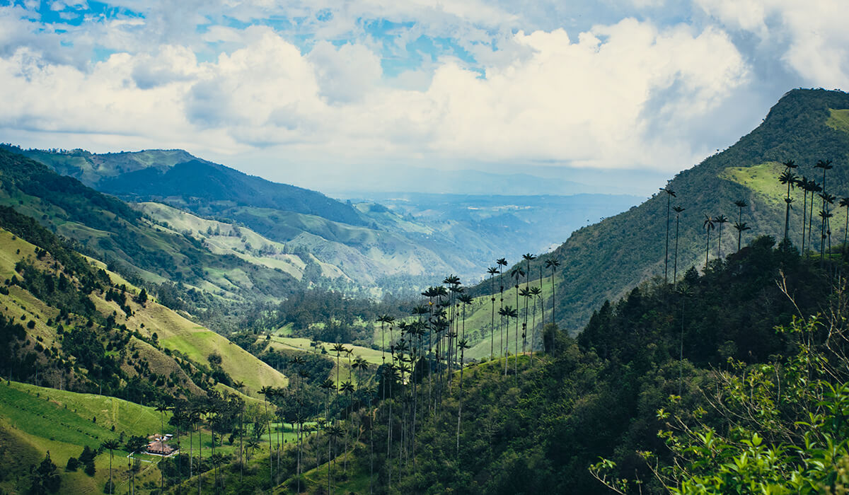 The giant wax palm trees of the Cocora Valley in Colombia